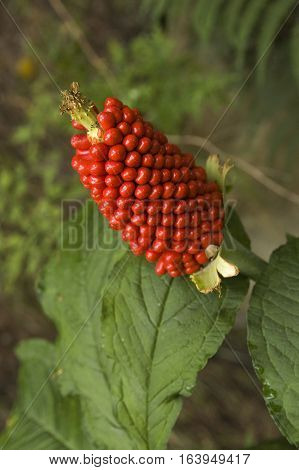 Jack-in-the-pulpit high in the mountains, Annapurna trekking, Nepal