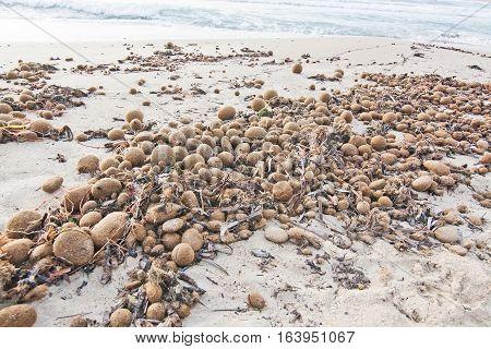 Neptune Sea Grass Balls