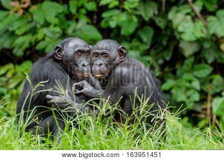 Bonobo In Natural Habitat. Green Natural Background. The Bonobo