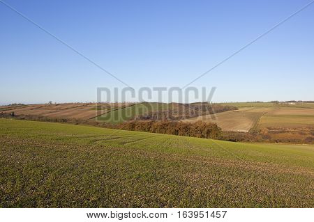 Wheat Field And Larch Copse