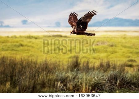 Eagle hunting in the crater of Ngorongoro. Africa. Tanzania.