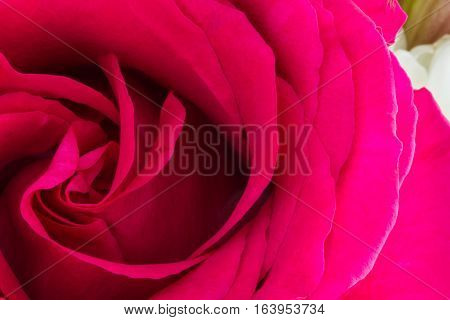 One Pink Rose Low-key Close-up