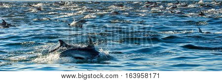 Dolphins, Swimming In The Ocean And Hunting For Fish. Dolphins Swim And Jumping From The Water. The