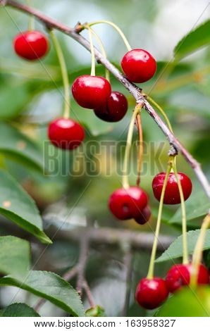 Red sweet Cherries hanging on a cherry tree branch on blurred background. Juicy Cherry on the tree in nature