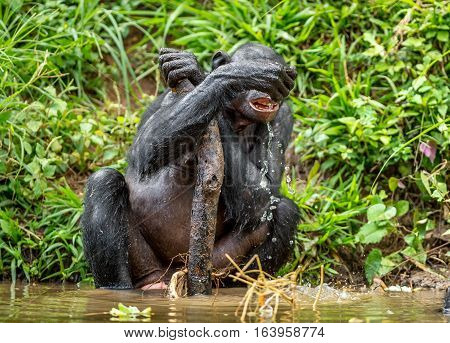 The Adult Bonobo Drinks Water In Natural Habitat. Green Natural Background. The Bonobo ( Pan Paniscu