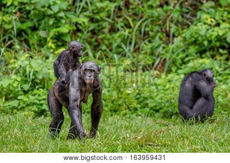 Close Up Portrait Of Bonobo Cub On The Mother's Back In Natural Habitat. Green Natural Background. T