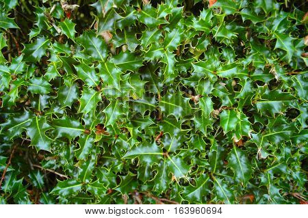 Holly leaves from a hedge forming a background image