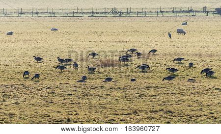 Flock of Canada geese (Branta canadensis) grazing in field. Large black and white birds in the family Anatidae feeding on pasture over winter in Somerset UK with solitary heron
