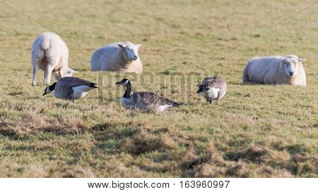 Canada geese (Branta canadensis) grazing with sheep. Large black and white birds in the family Anatidae feeding on pasture over winter in Somerset UK
