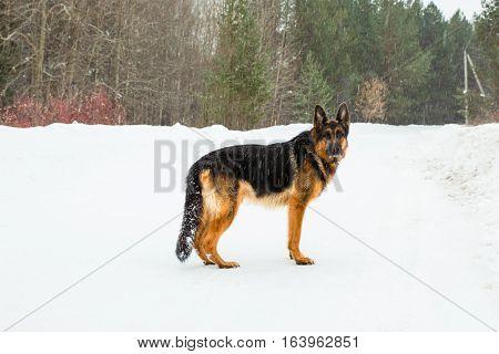 Dog German Shepherd In A Winter