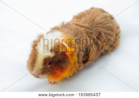 One guinea pig merino on white background.