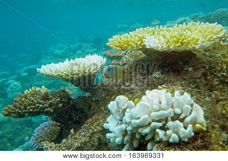 Underwater world with coral and tropical fish, coral reef life, colorful corals, yellow corals, oceanic landscape