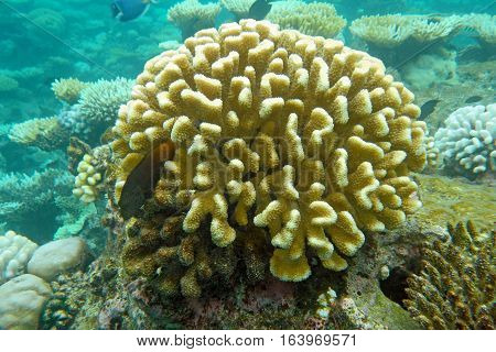 Underwater world with coral and tropical fish, coral reef life,  yellow corals, oceanic landscape
