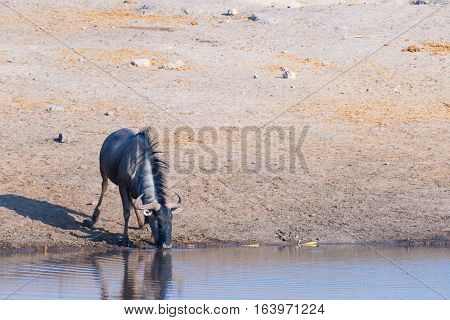 Blue Wildebeest Kneeling And Drinking From Waterhole In Daylight. Wildlife Safari In Etosha National