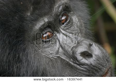 Eastern mountain gorilla female in tropical forest of Uganda