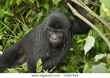 Eastern mountain gorilla baby in tropical forest of Uganda