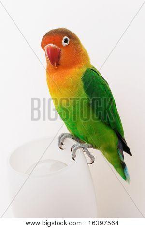 Parrot lovebird agapornis-fischeri