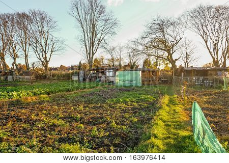 Autumn view at the allotments.  Allotments are a place for socialising whilst growing your own vegetables.