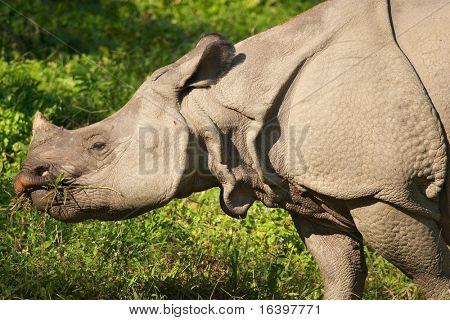 Asiatic rhinoceros