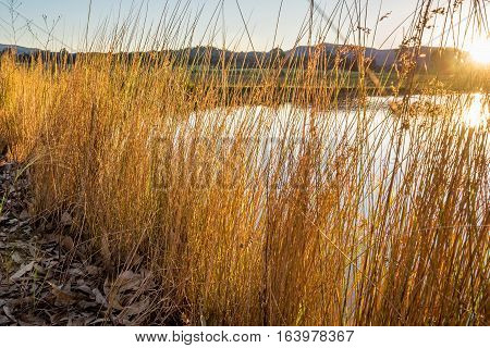 Grass reeds growing on artificial lakeside, bathe in the golden sun light. Low angle view.