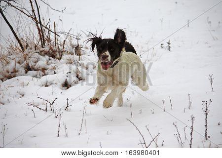 Working Springer Spaniel Pet Gundog Playing In The Snow