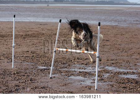 A Working Type English Springer Spaniel Pet Gundog Doing Agility Jumps On A Sandy Beach