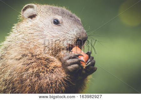 Closeup of very cute young groundhog about to eat carrot