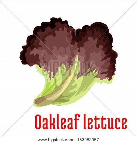 Red oakleaf lettuce vegetable greens cartoon icon with fresh leaf of lettuce salad. Vegetarian salad recipe, cookbook, healthy food themes design
