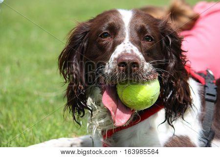 A Working Type English Springer Spaniel Pet Gundog With A Yellow Tennis Ball