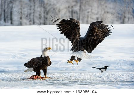 The Magpies and Bald eagle ( Haliaeetus leucocephalus ) sits on snow and eats a salmon. Alaska