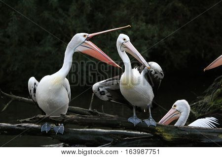 Pelicans scream at each other on a river bank