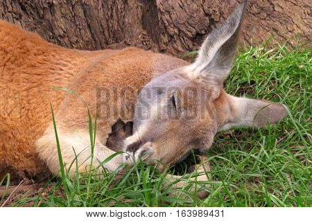 Australian kangaroo taking a summer afternoon siesta nap
