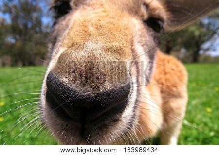 Curious red kangaroo close up of nose