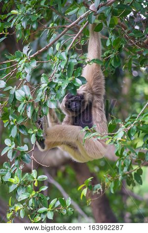 White Cheeked Gibbon Cute Monkey On Tree