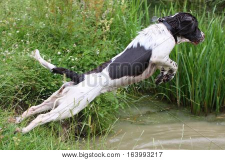 Working Type English Springer Spaniel Pet Gundog Jumping Into Water