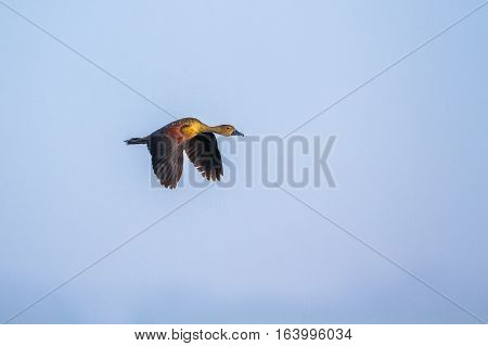 Lesser whistling-duck in Arugam bay lagoon, Sri Lanka ;specie Dendrocygna javanica family of anatidae