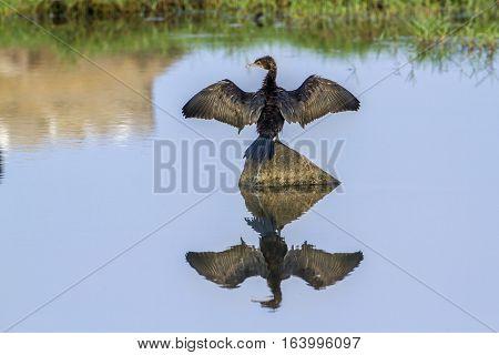 Little cormorant in Arugam bay lagoon, Sri Lanka ;specie Phalacrocorax niger family of Phalacrocoracidae