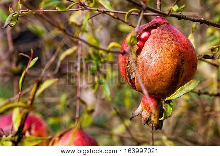 Pomegranate, fruit and plant. The pomegranate, botanical name Punica granatum, is a fruit-bearing deciduous shrub or small tree in the family Lythraceae that grows between 5 and 8 m (16 and 26 ft) tall.
