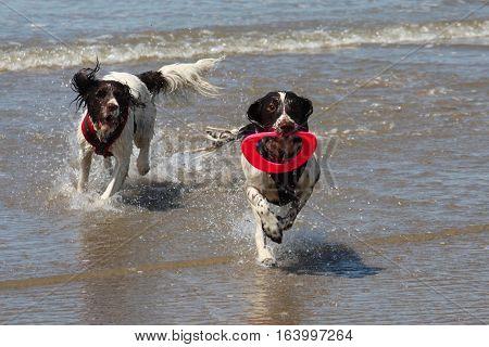 Working Type English Springer Spaniel Pet Gundog Running On A Sandy Beach;