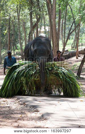 Elephant carries an armful of green under the supervision gadman at Kottoor Kappukadu Elephant Rehabilitation Centre, 24 October 2016, Kerala India