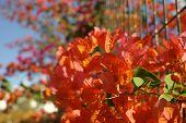Bright orange Bougainvillea plant flowers in sunlight poster
