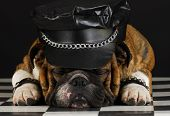 english bulldog wearing black leather dressed up like motorcycle gang poster