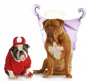 good dog - bad dog - english bulldog devil sitting beside dogue de bordeaux angel on white background poster