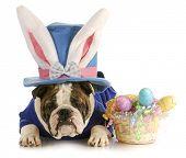 easter dog - english bulldog dressed up for easter on white background poster