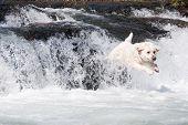 Labrador Retriever jumping in mountain river poster