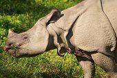 Asiatic rhinoceros poster
