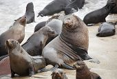 Big seal male with his own females, Atlantic coast of Namibia poster