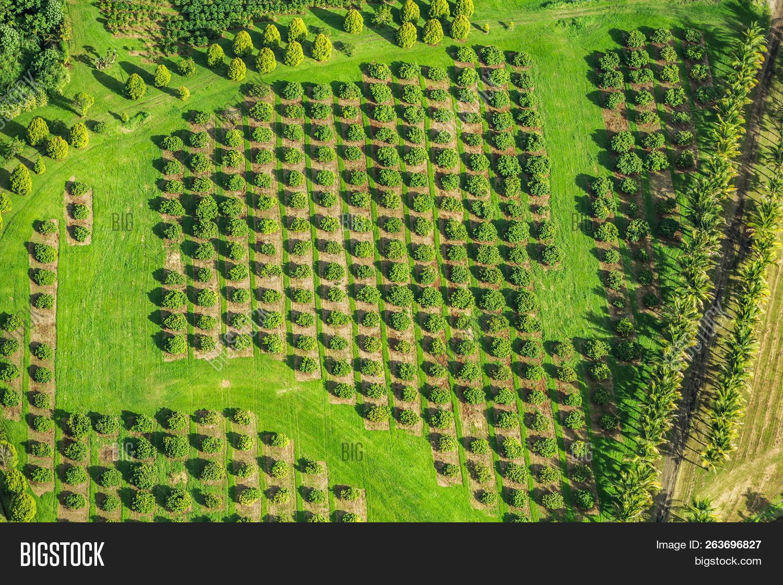 Macadamia Nut Farm Image & Photo (Free Trial) | Bigstock