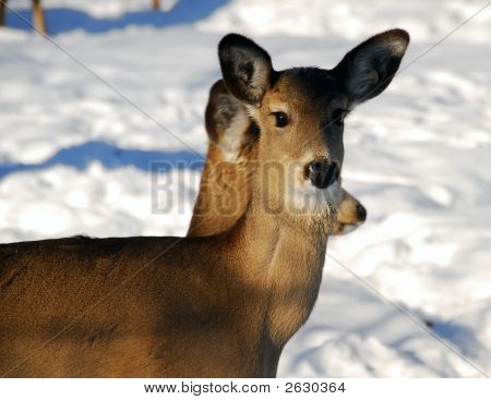 Whte-Tailed Deer