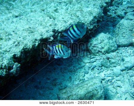 Pair Of Reef Fish
